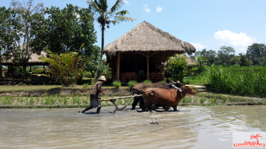 Planting rice in Bali with Bali Rural Commune