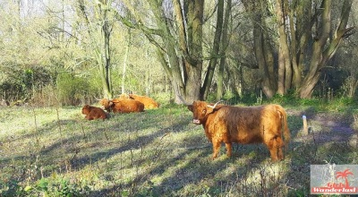 Amsterdam Forest cows.JPG