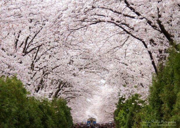 The Best Places To See Cherry Blossoms In South Korea Girlswanderlust