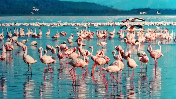 Kenia Lake Nakuru flamingo